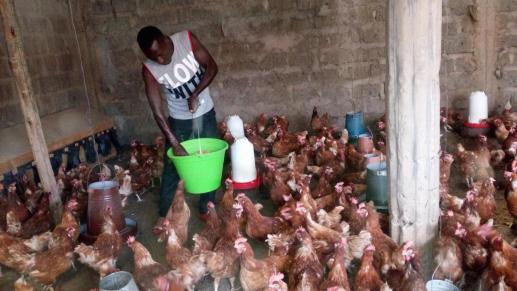 kippenfarm